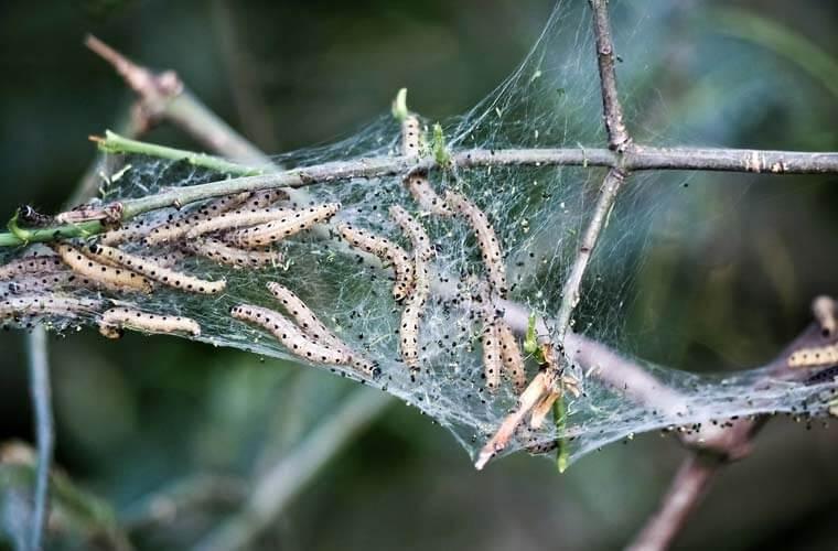 Mottenlarven auf befallener Pflanze - Allgäu Service